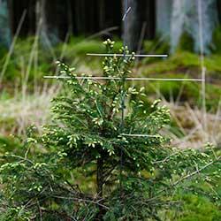 stachelbaum